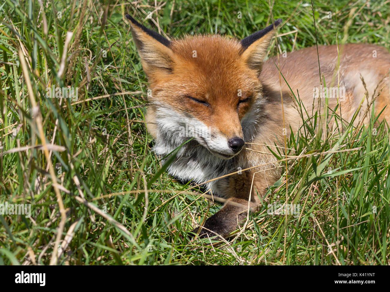 Fox Vulpes vulpes ressemblant à un chien se détendre dans de bonnes conditions météorologiques. Fourrure rouge orange et queue touffue. Ce renard est à la British Wildlife Centre Surrey UK. Photo Stock