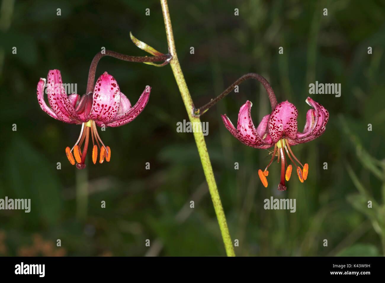 Turk's Cap fleur de lys martagon Lilium Autriche Banque D'Images