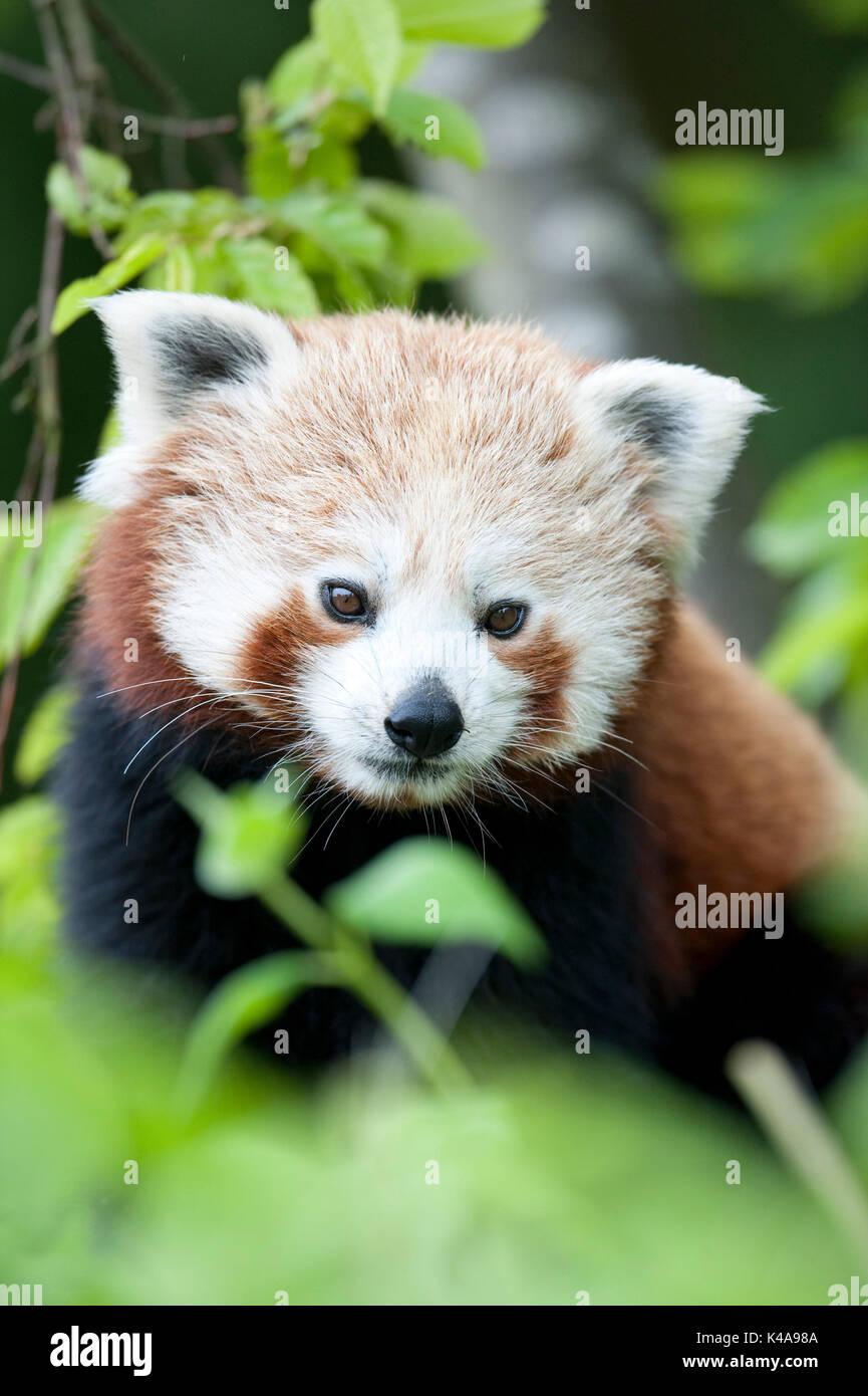 Le panda rouge, Ailurus fulgens, Captive, la Chine, le petit panda et chat rouge-bear, est un petit mammifère arboricole originaire de l'Himalaya oriental et le sud-ouest Photo Stock