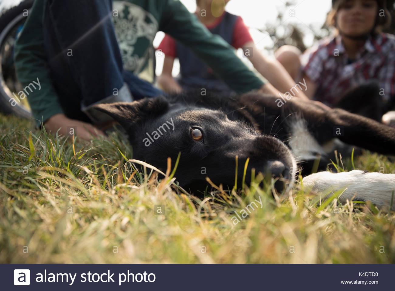 Noir et blanc portrait dog laying in grass Photo Stock