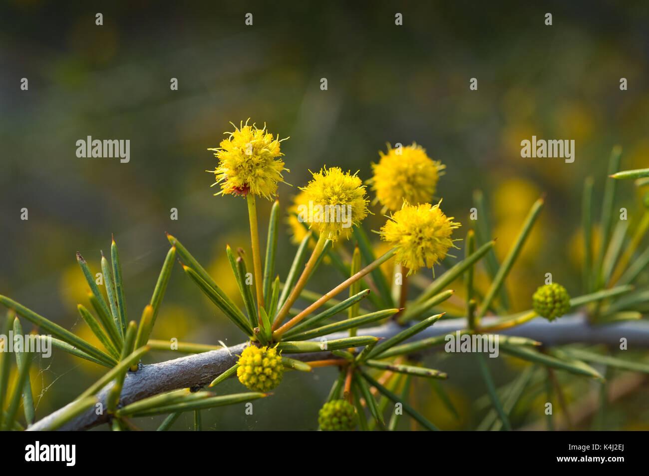 Tetragonophylla Acacia, communément appelé Dead Terminer ou l'aiguille Wattle. Photo Stock