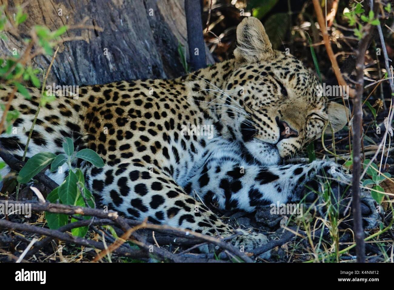 Big cat sleeping photos big cat sleeping images alamy - Dormir la tete au sud ...