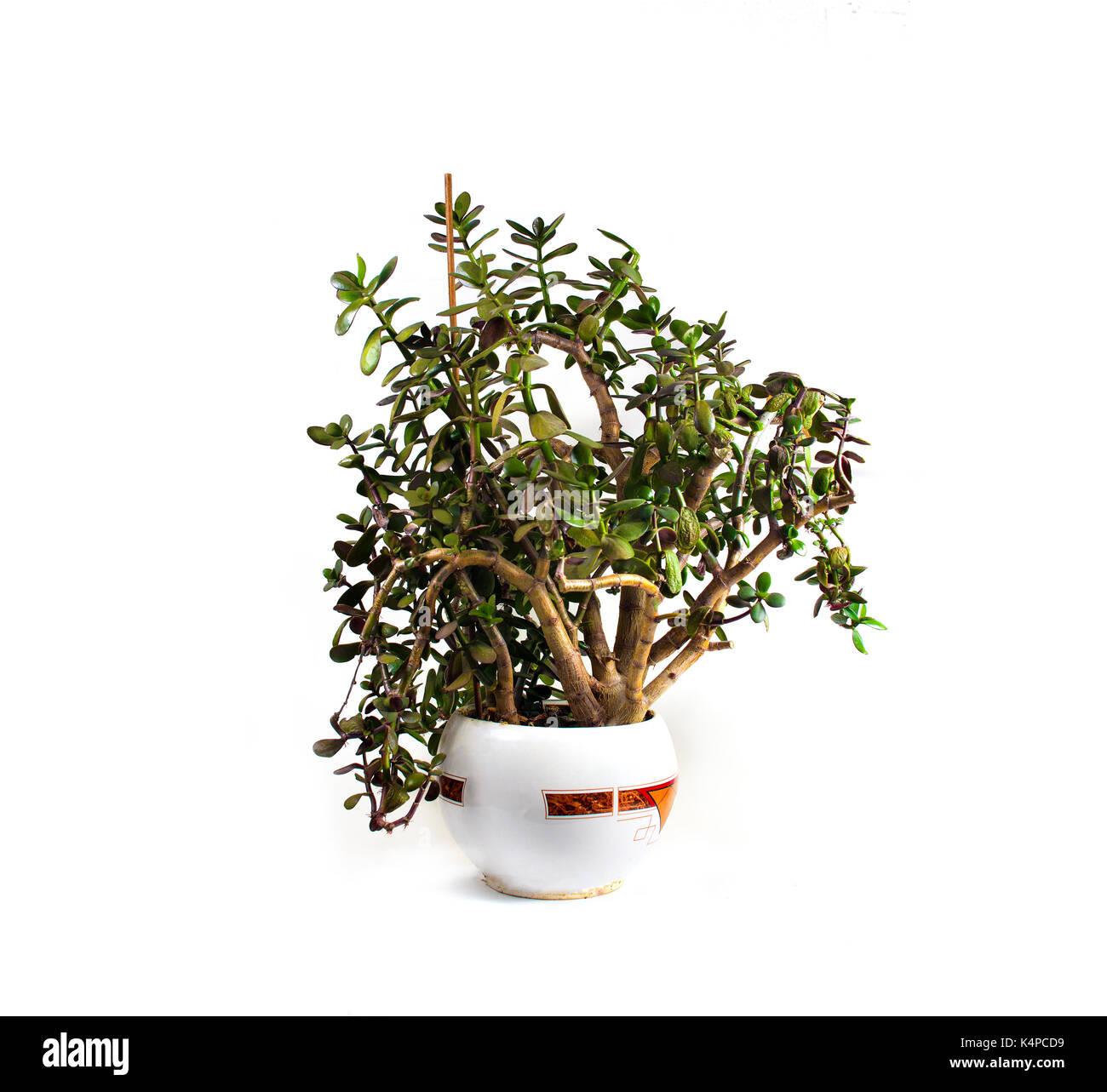 money plant crassula ovata flower photos money plant crassula ovata flower images alamy. Black Bedroom Furniture Sets. Home Design Ideas
