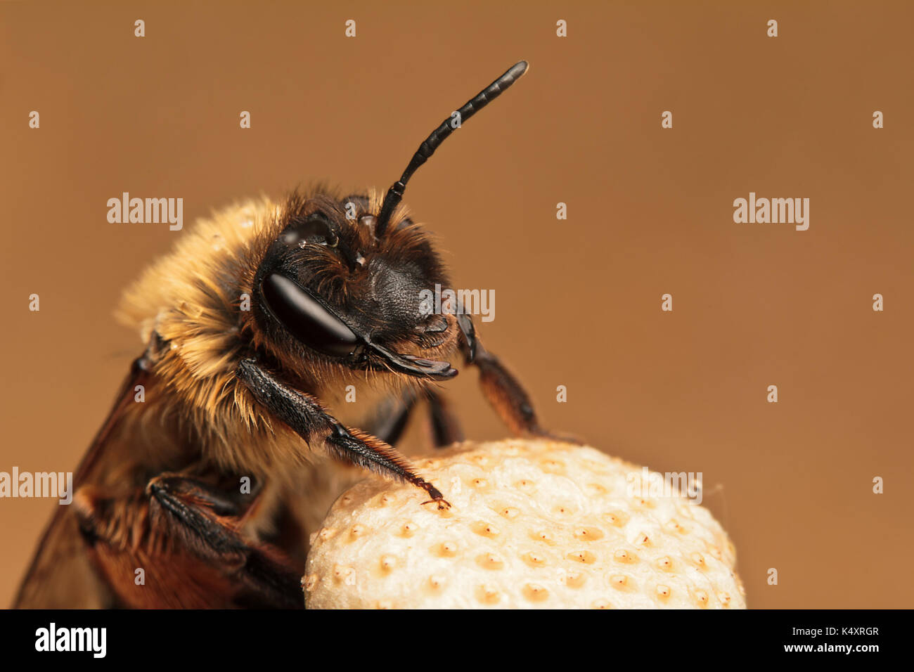 abeille de la minière Banque D'Images