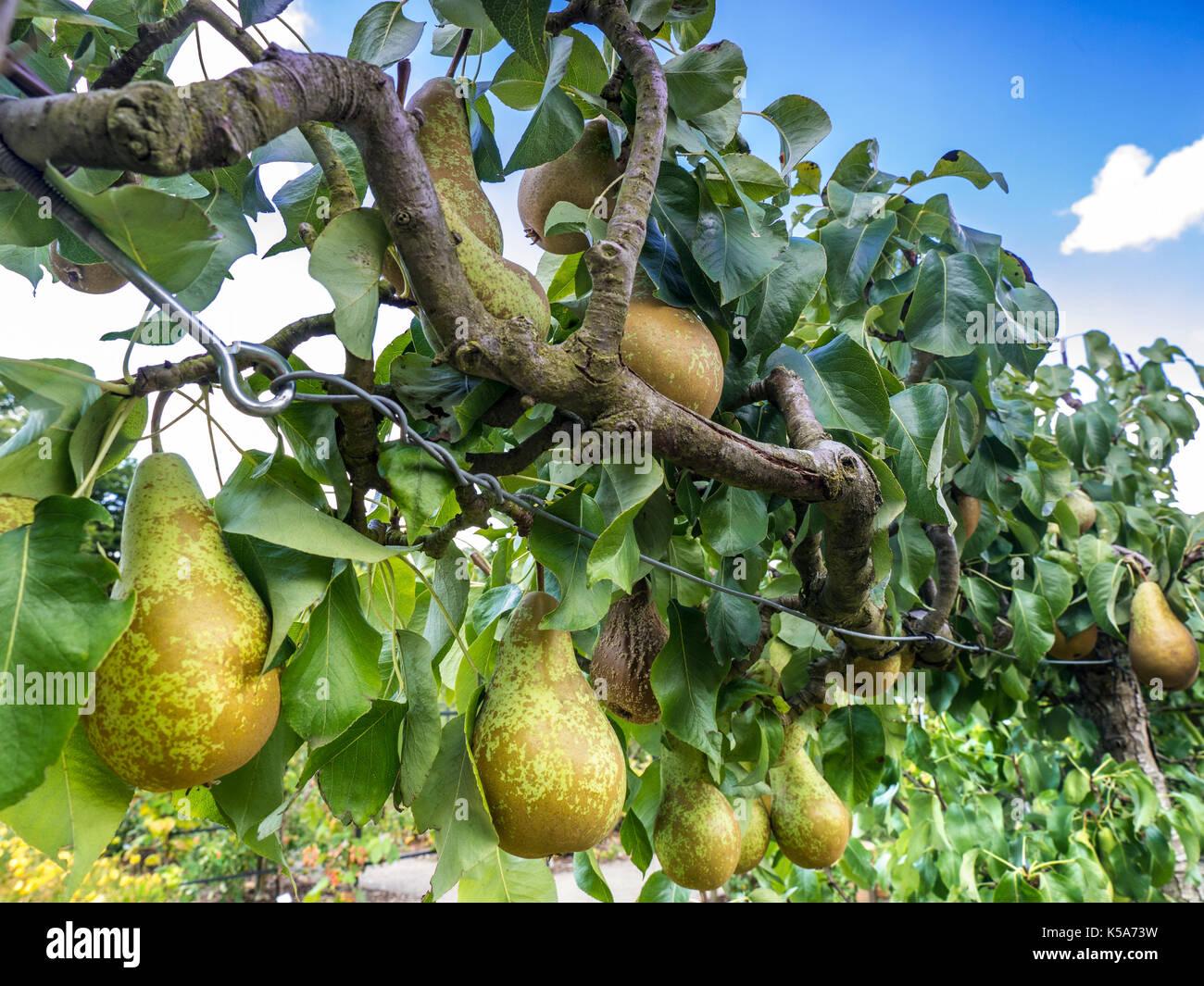 Conférence de l'espalier ESPALIERED Pear Tree (Pyrus communis) poires dessert l'espalier formés dans un jardin potager Banque D'Images