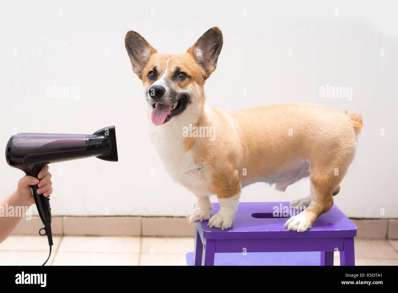 Femme en utilisant les cheveux secs chien mouillé de séchage Photo Stock