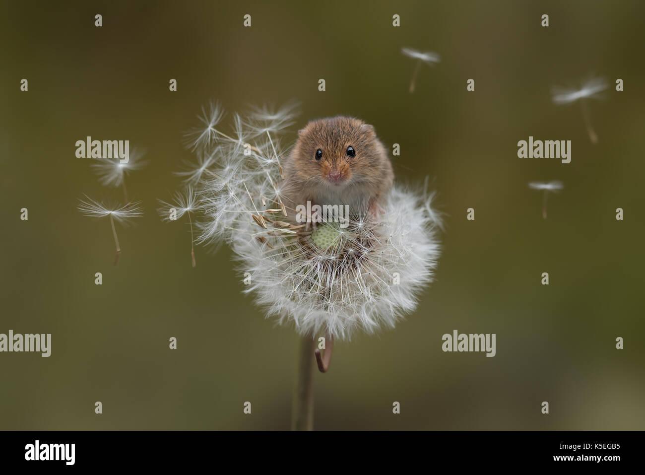 La souris d'un équilibre précaire sur un pissenlit horloge avec les graines dans le vent Photo Stock