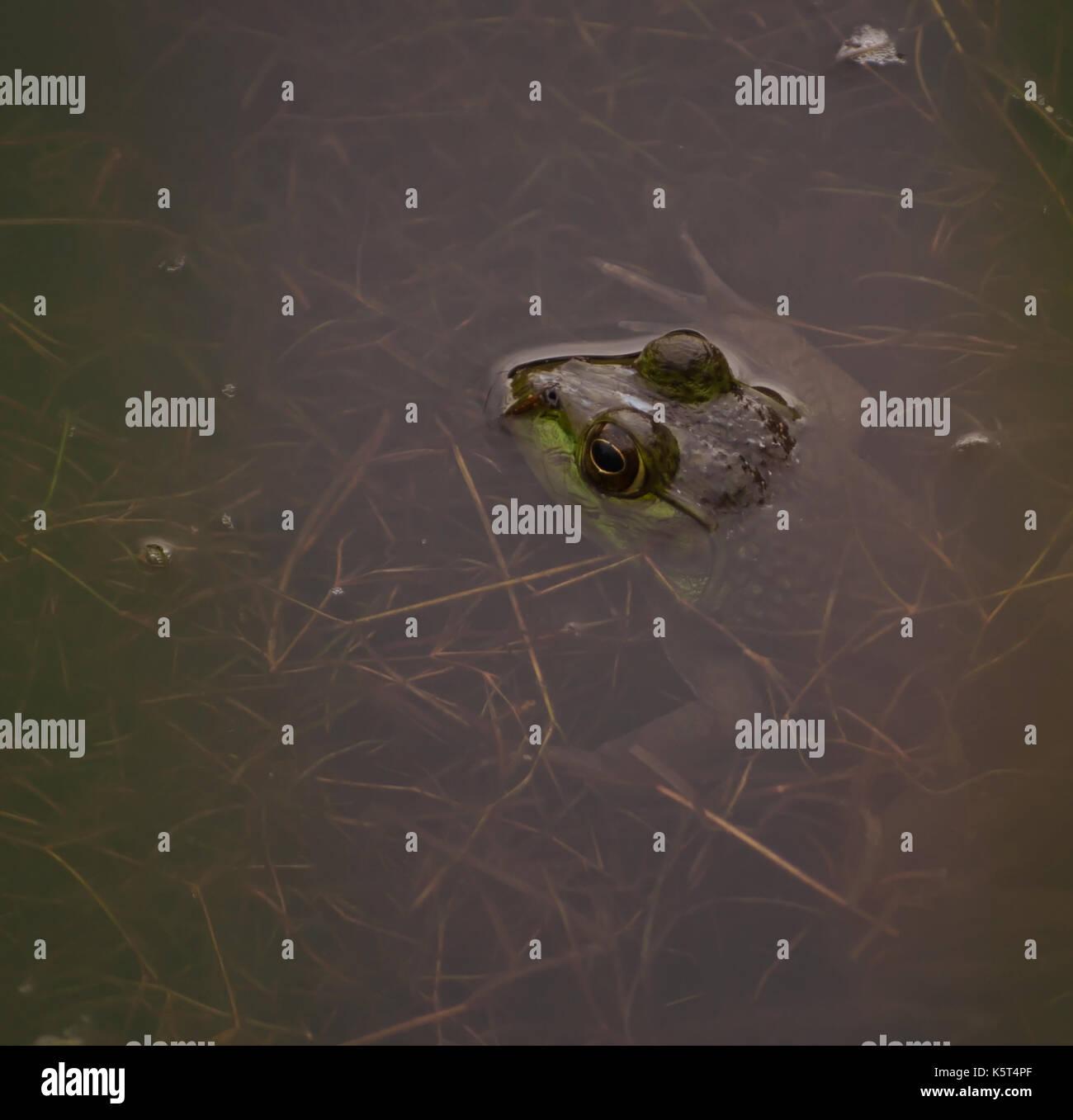 Un bull frog partiellement immergé dans un étang avec seulement sa tête montrant Banque D'Images