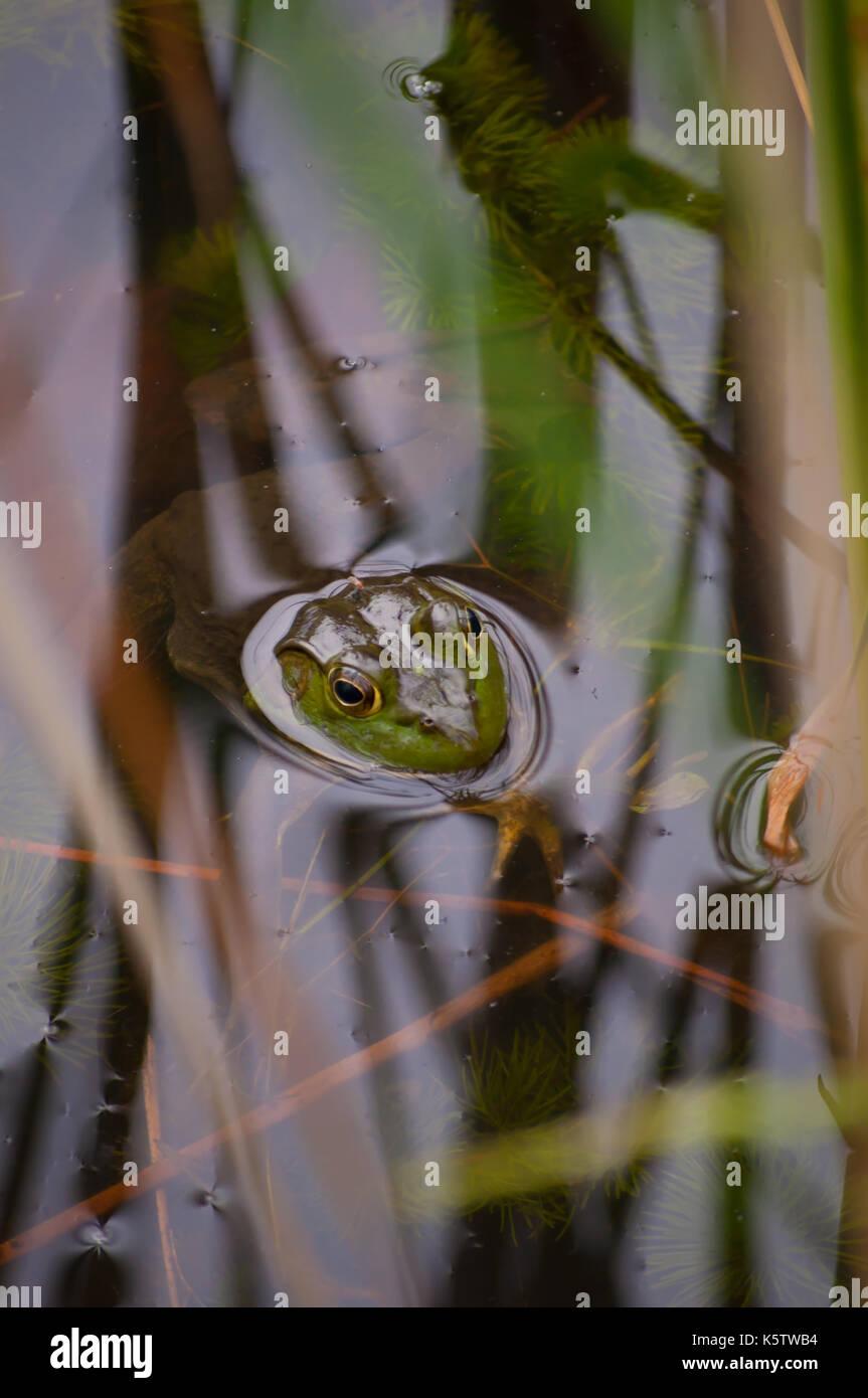 Un bull frog se cachant dans un étang avec seulement la tête hors de l'eau Banque D'Images