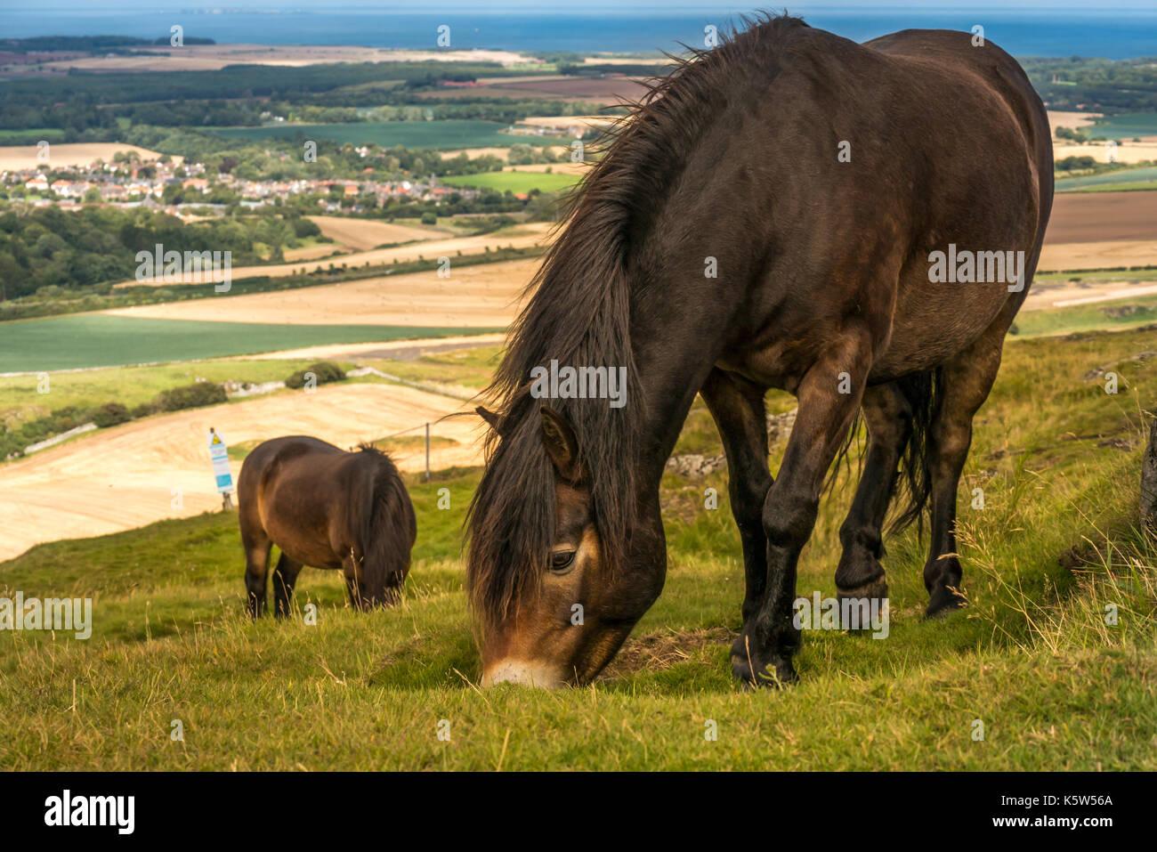Close up de poneys Exmoor sur Traprain Law, East Lothian, Scotland, UK; un projet de pâturage pour restaurer l'herbe et encourager les fleurs sauvages Photo Stock