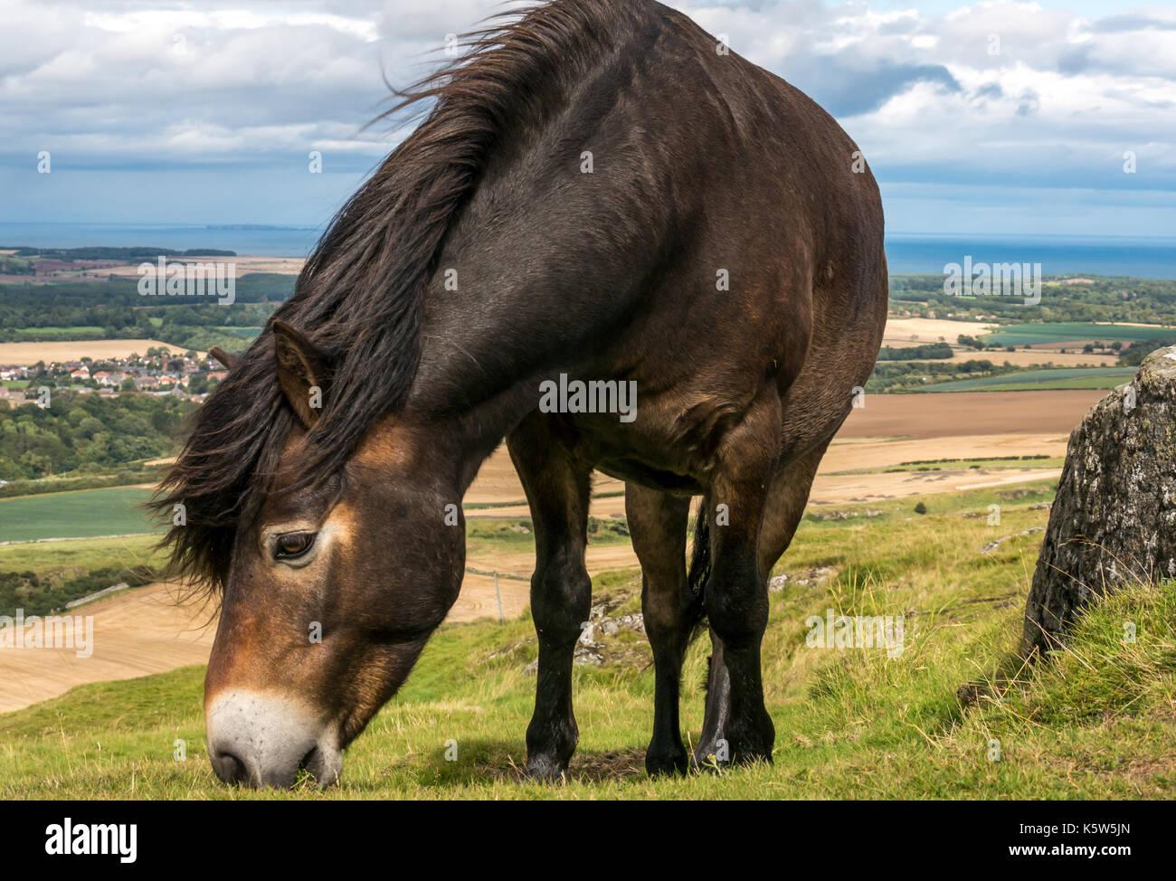 Poney Exmoor sauvages semi, Traprain Law, East Lothian, Scotland, UK, le pâturage pour restaurer l'herbe et encourager les fleurs sauvages, Firth of Forth en arrière-plan Photo Stock