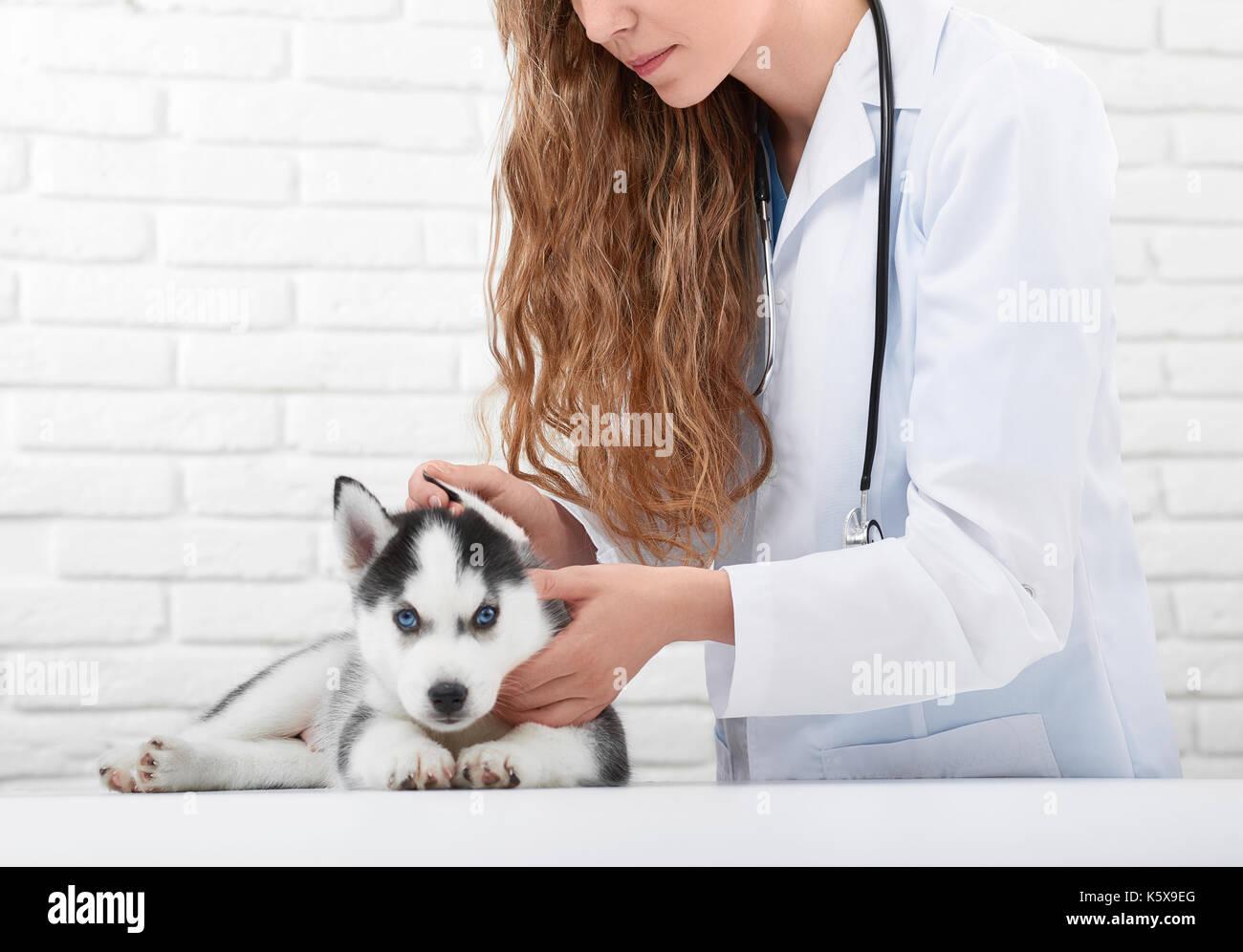 L'examen vétérinaire chiot Husky peu Photo Stock
