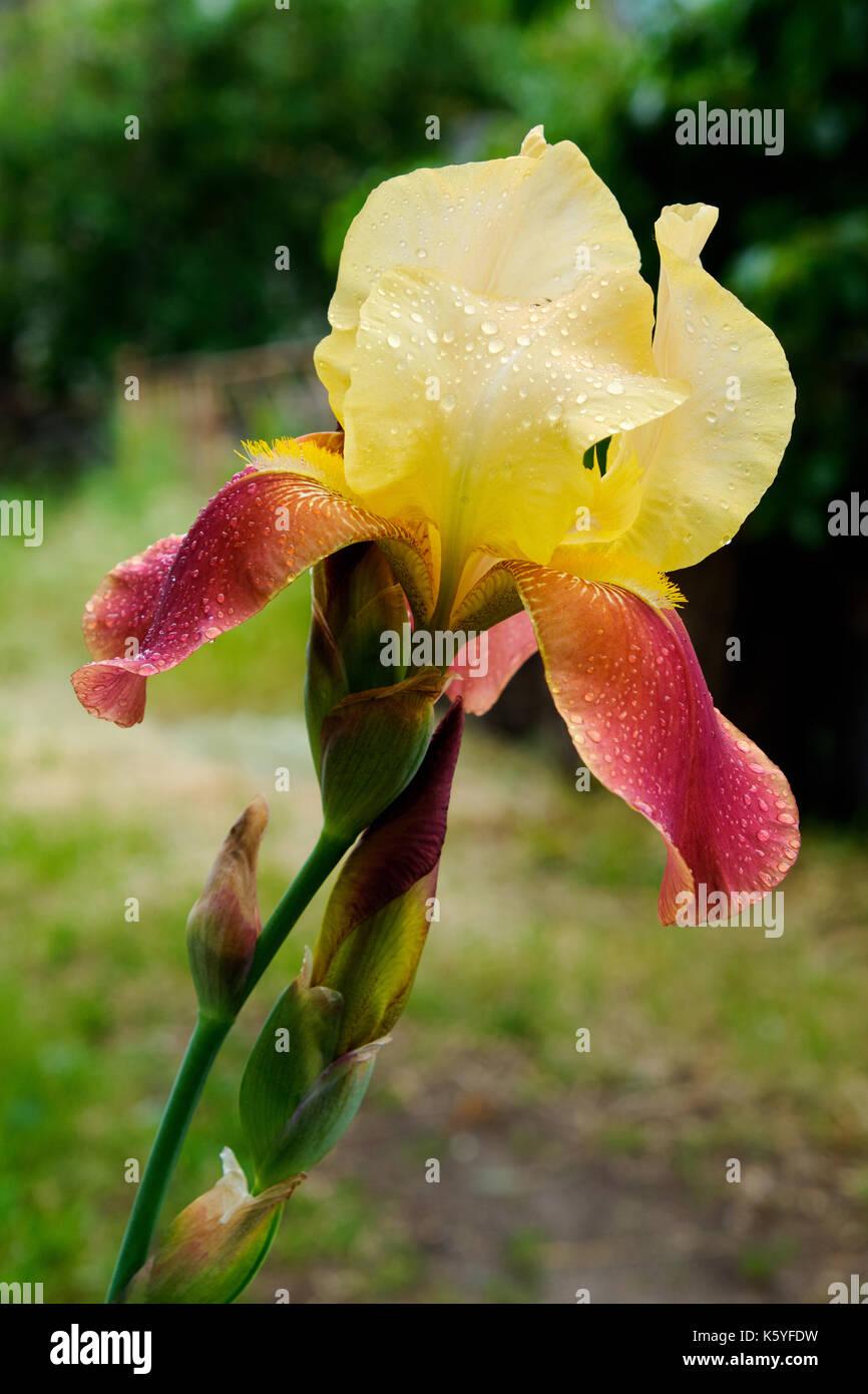 Iris Fleurs Jaunes Rouge Avec Petales Gouttes D Eau Sur L Article