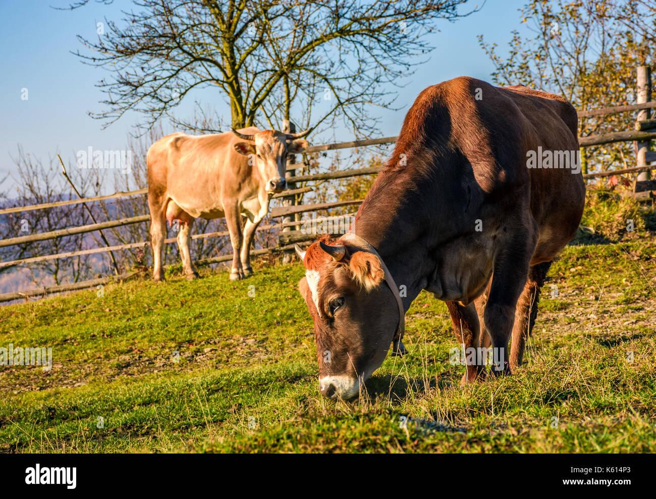 Deux vaches au pâturage en automne. Belle épisode quotidien de la vie rurale Photo Stock