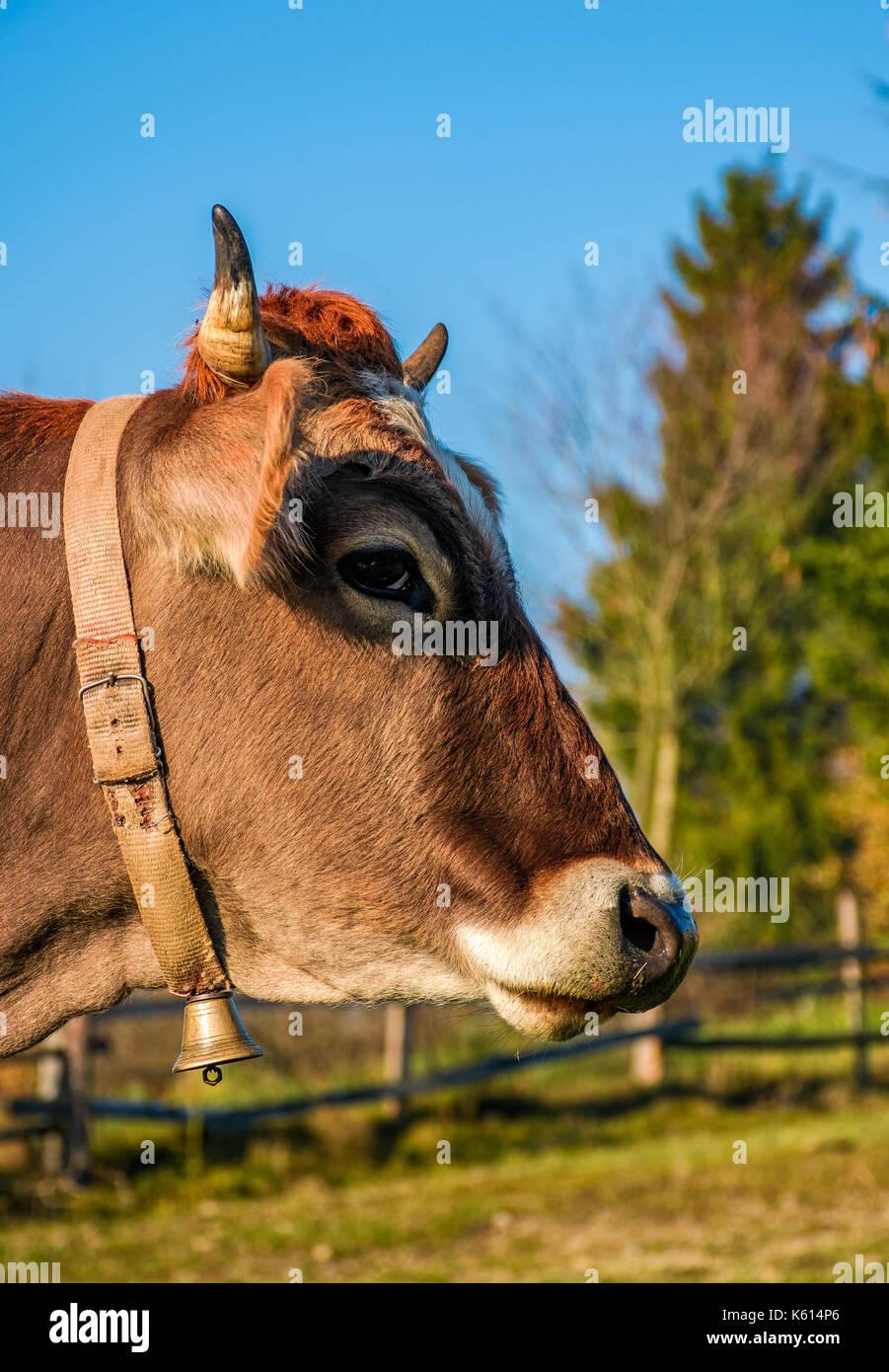 Portrait de vache roux dans la lumière du matin d'automne. Joli épisode quotidien de la vie rurale Photo Stock