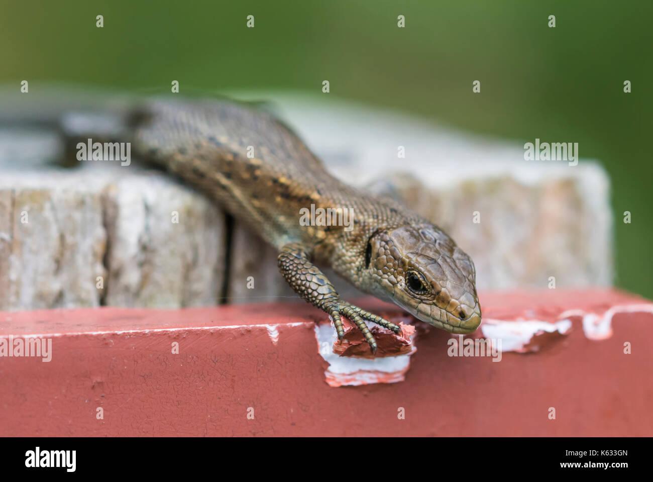 Lézard commun Zootoca vivipara (adultes), AKA lézard vivipare lézard eurasien ou près de l'eau, à l'automne dans le sud de l'Angleterre, Royaume-Uni. Gros plan de lézard. Banque D'Images