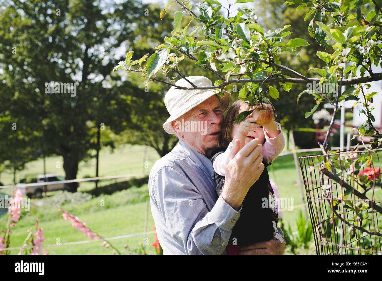 Un grand-père aide sa petite-fille choisissez une pomme d'un arbre. Photo Stock