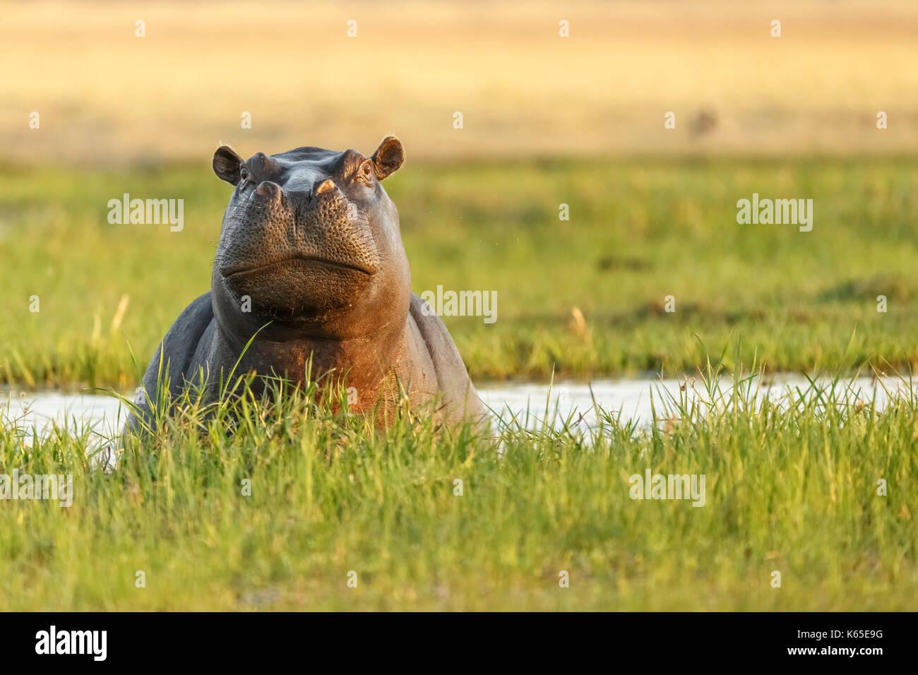 Hippopotame (Hippopotamus amphibious), un défi dans la rivière Kwai, botswana Photo Stock