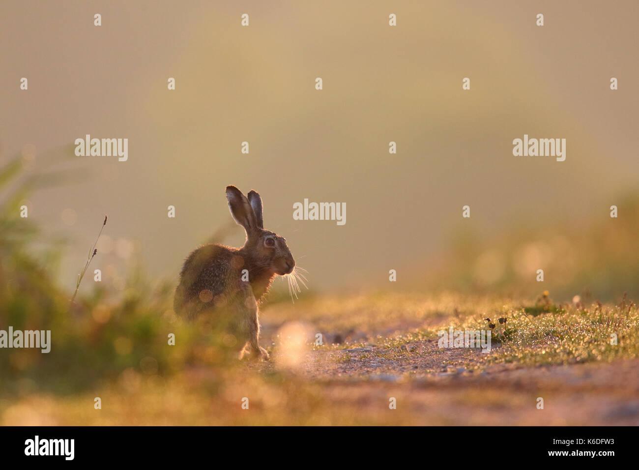 European Brown Hare (Lepus europaeus) tôt le matin, la première lumière. L'Europe Photo Stock
