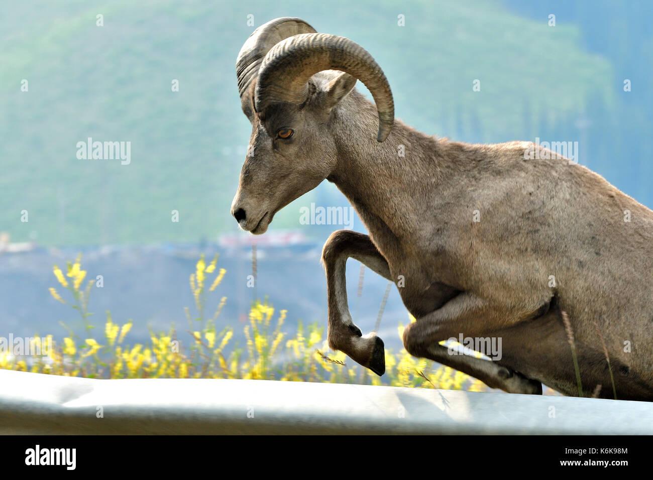 Un 'mouflon Ovis canadensis'; sautant au dessus d'un rail de protection sur le côté de l'autoroute 40 en Alberta Canada Photo Stock