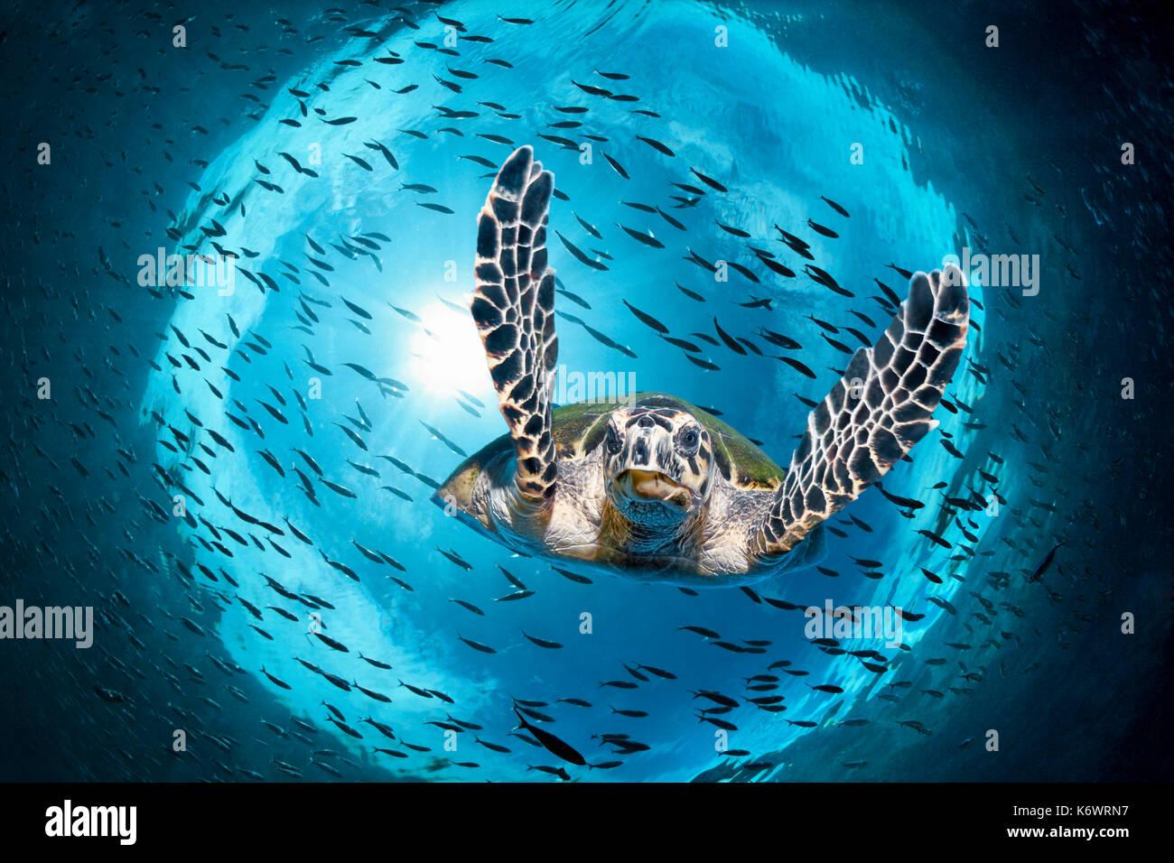 La tortue verte (Chelonia mydas) plongée sous, rétroéclairé, de poissons, de l'essaim de réflexion totale, grande barrière de corail, l'UNESCO Photo Stock