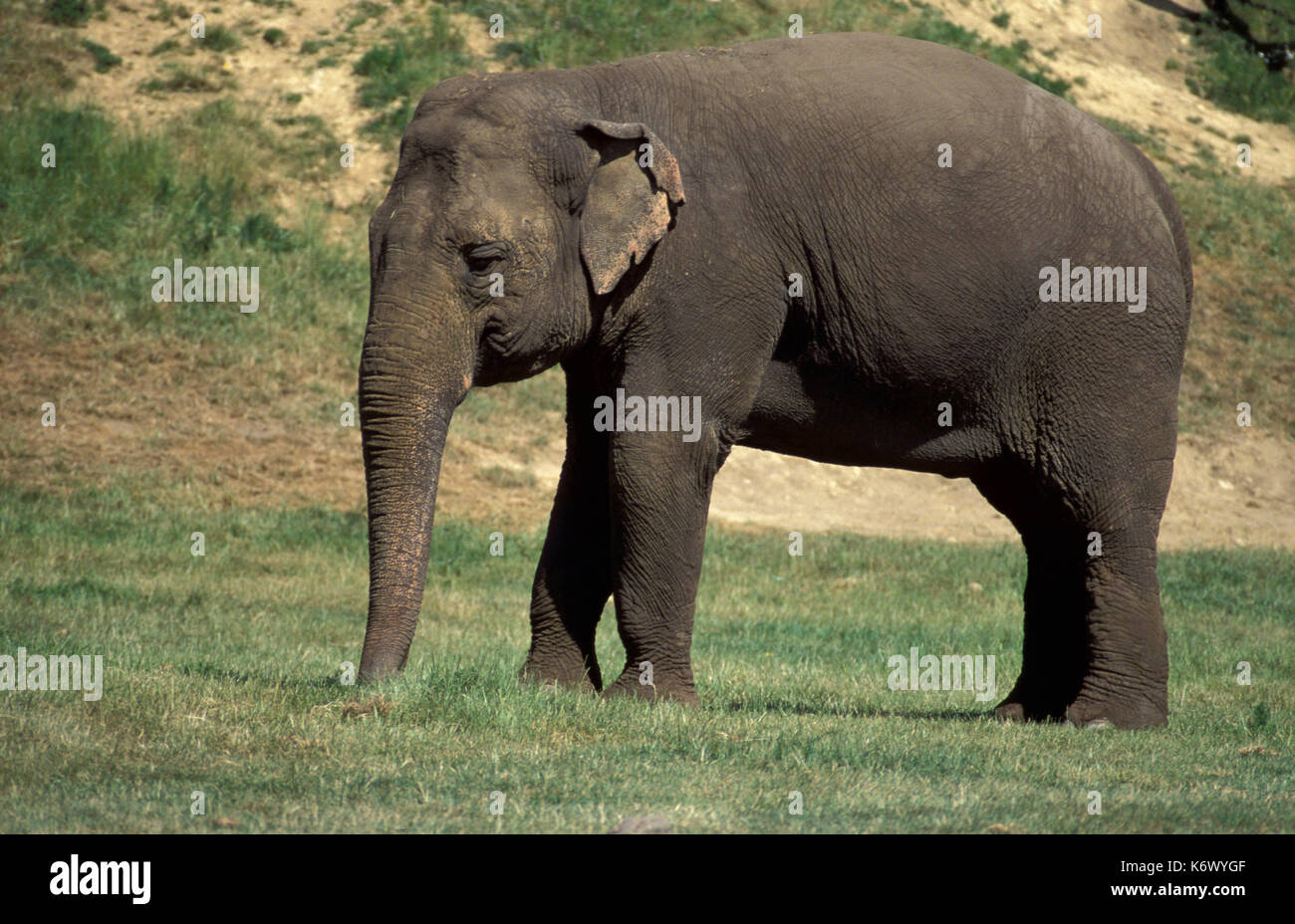 (L'éléphant d'Asie (Elephas maximus) en captivité), montrant tout son corps et de petites oreilles, et longue trompe Photo Stock