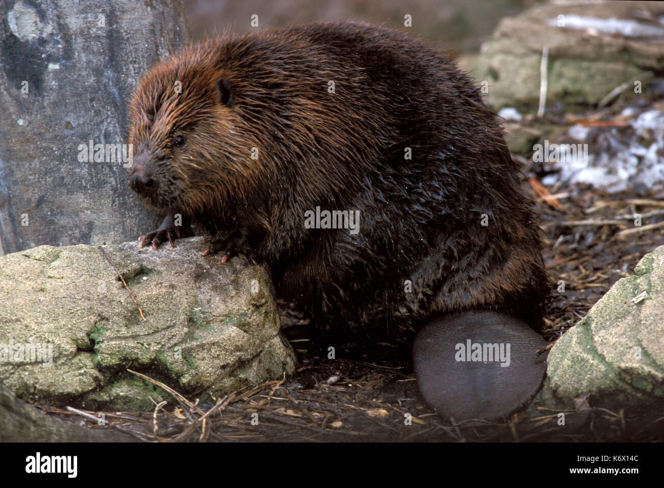 Castor (Castor canadensis) - captive, montrant tout le corps et la queue Photo Stock