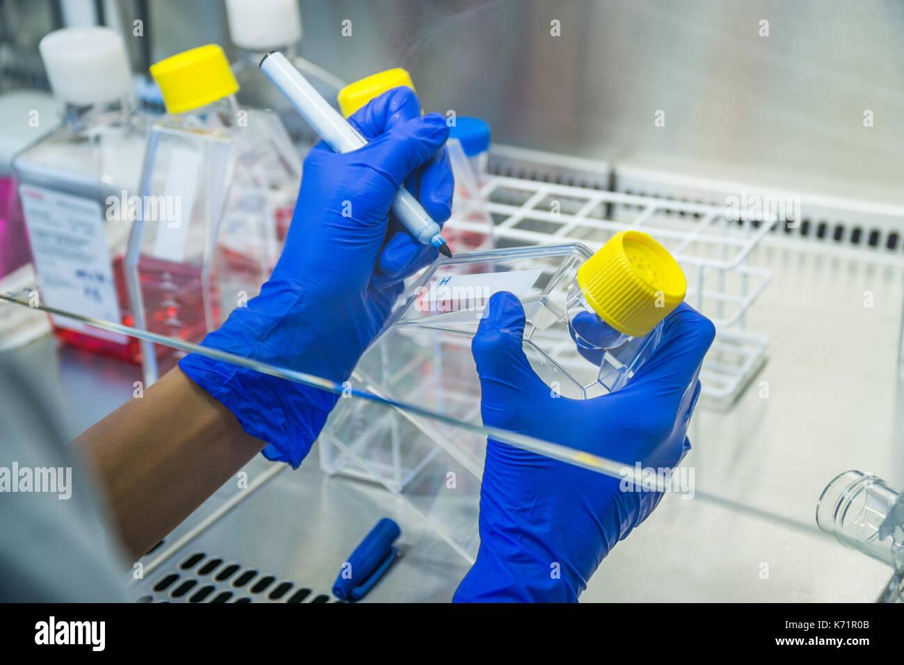 Le travail en laboratoire à l'étiquetage. Banque stérile flacons de culture cellulaire de cellules de travail partage.. Photo Stock