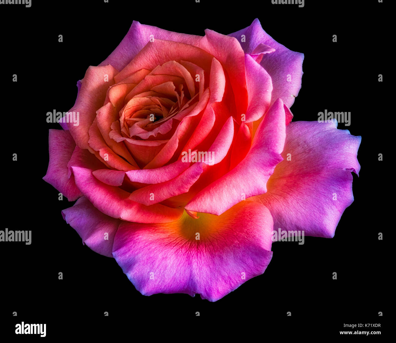 Couleur vive la vie encore macro portrait floral d 39 une - Couleur rose violet ...