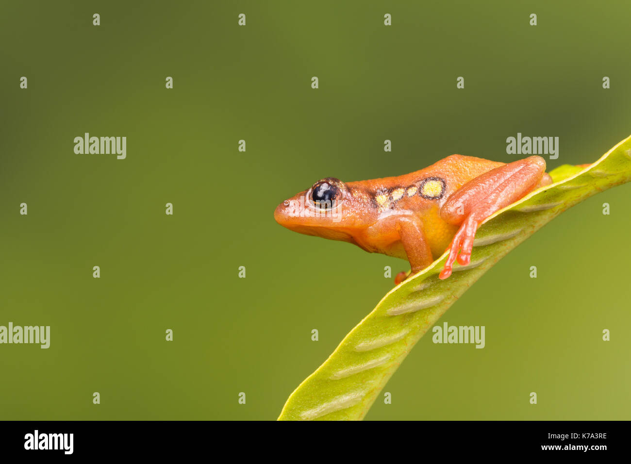 Golden orange lumineux grenouille carex assis sur une feuille verte Photo Stock