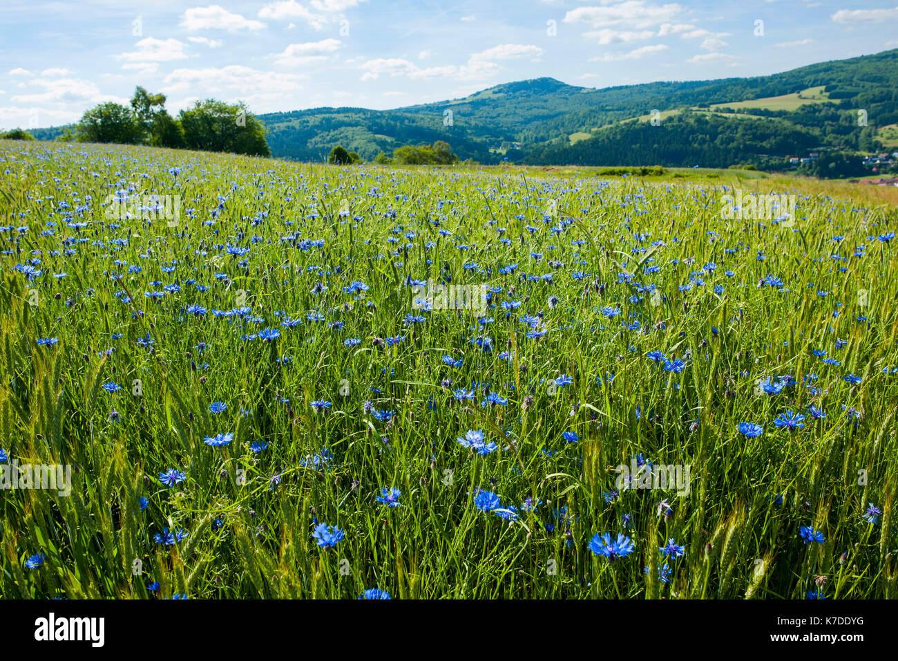 La floraison barbeaux (cyanus segetum) dans le champ de céréales, la réserve de biosphère de rhön, Allemagne Photo Stock