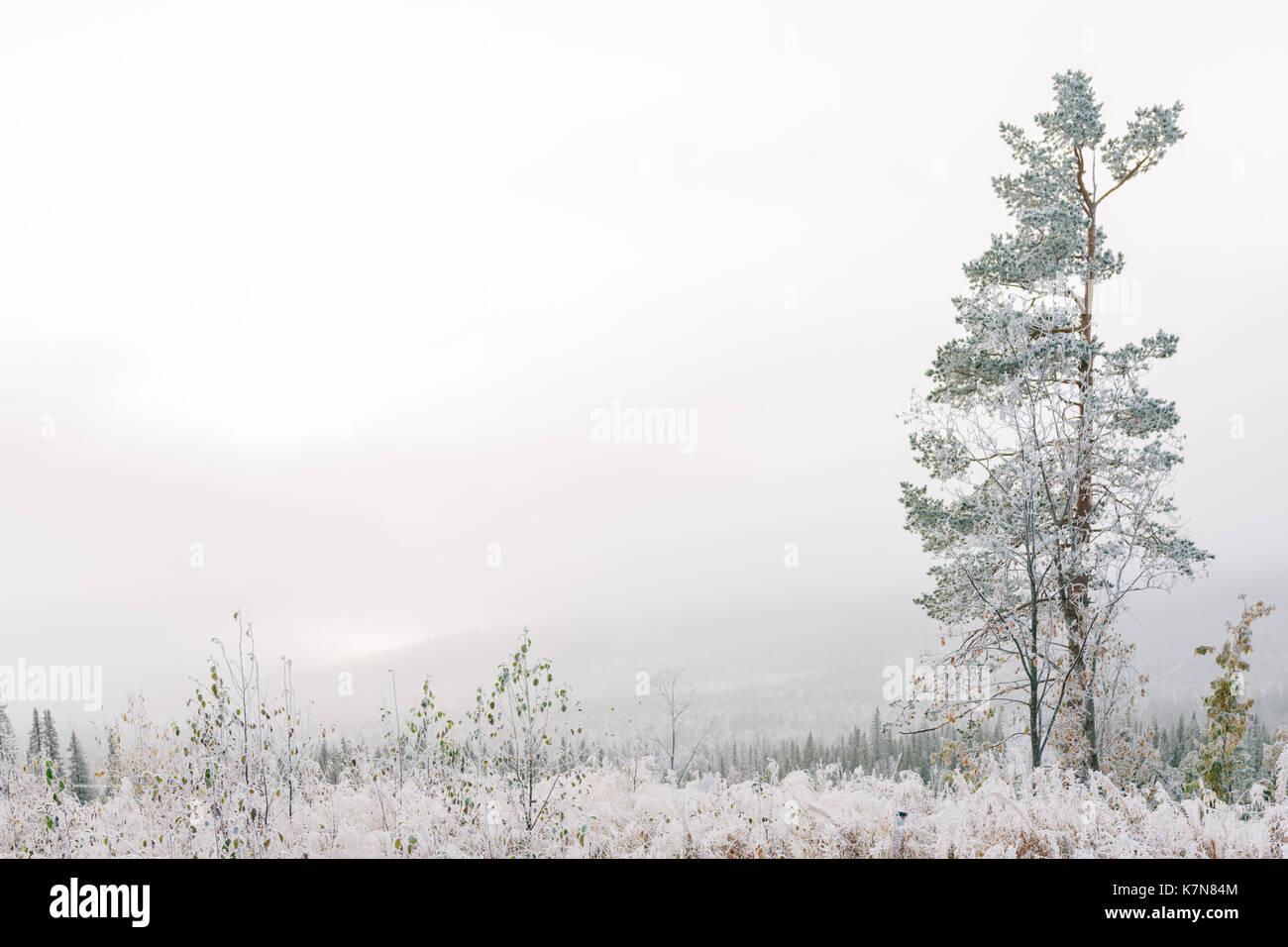 Un arbre dans le brouillard couvert de givre Photo Stock