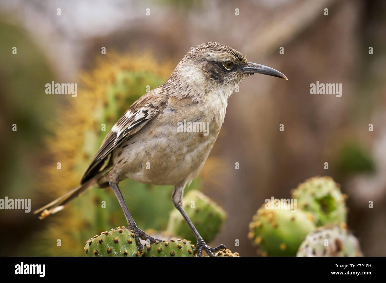 Mockingbird Galapagos dans les îles Galapagos de l'Équateur Banque D'Images