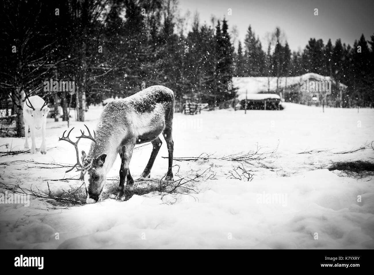 L'alimentation des rennes dans la neige, Laponie, Finlande Photo Stock