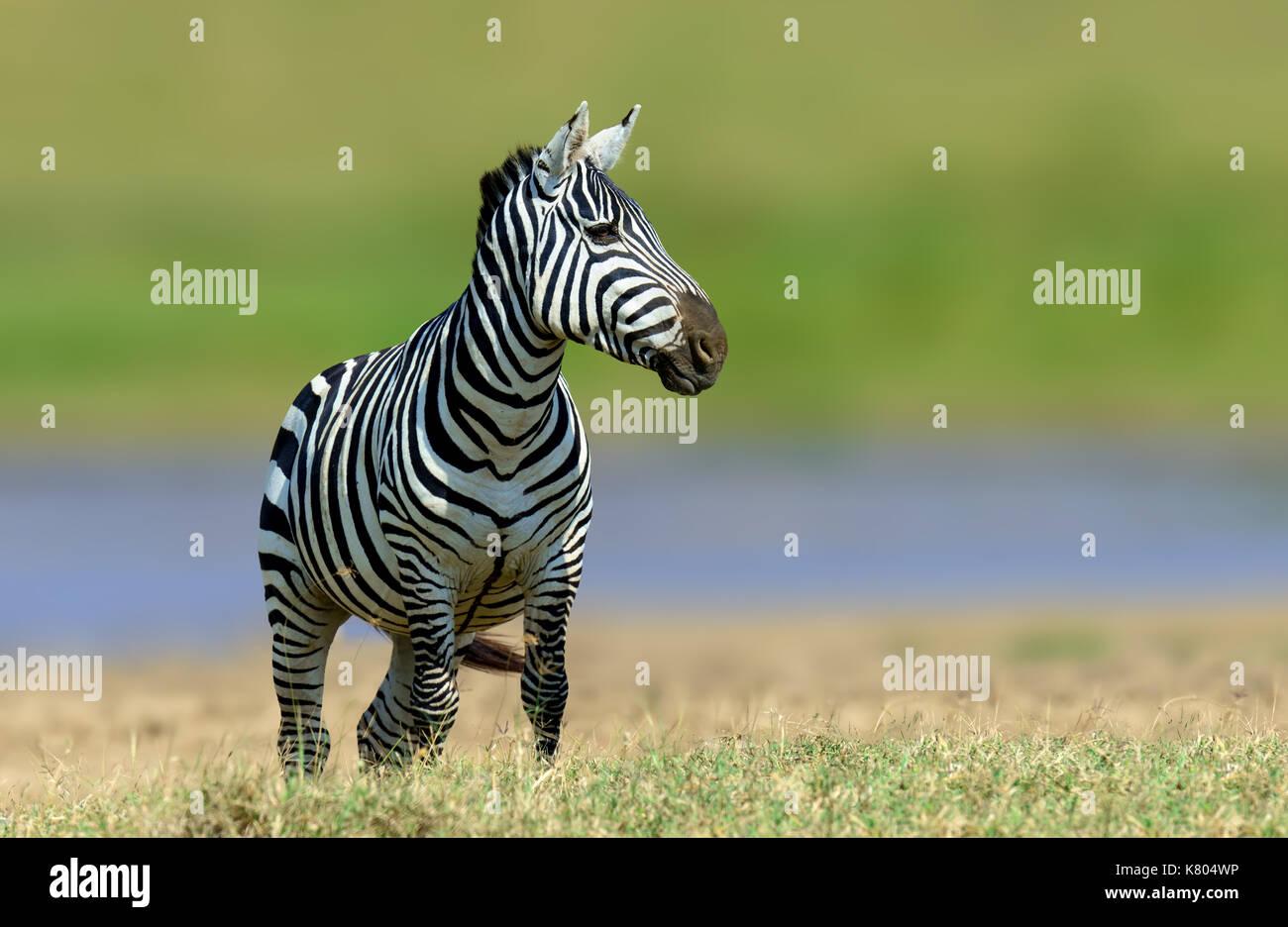 Zebra dans l'herbe du parc national de l'habitat de la nature, de la faune du Kenya. scène de la nature, de l'Afrique Photo Stock