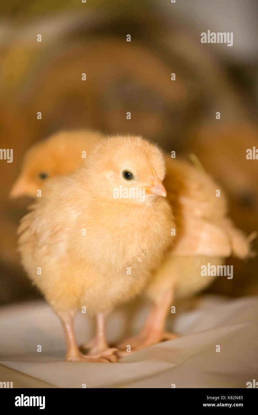 Deux poussins orpington buff sur plastique blanc, avec un lapin en arrière-plan, à baxtor barn farm en ville d'automne, wa Photo Stock