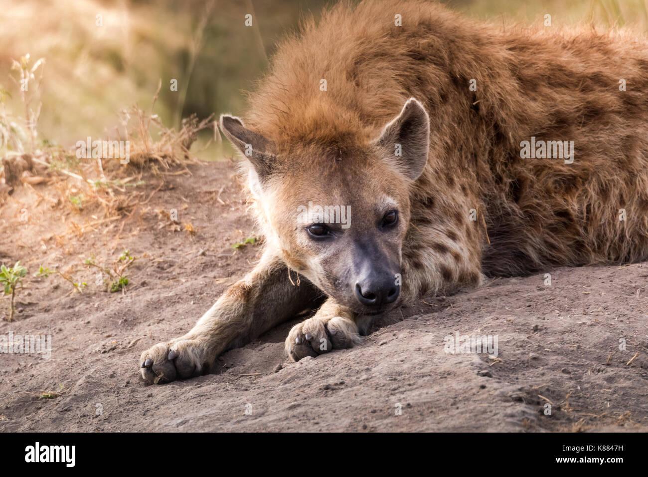 L'hyène tachetée reposant en fin d'après-midi sur le Masai Mara, Kenya Photo Stock