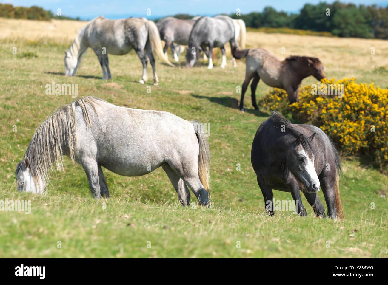 Hergest ridge haute poneys sauvages jusqu'à la frontière entre l'Angleterre et au Pays de Galles Photo Stock