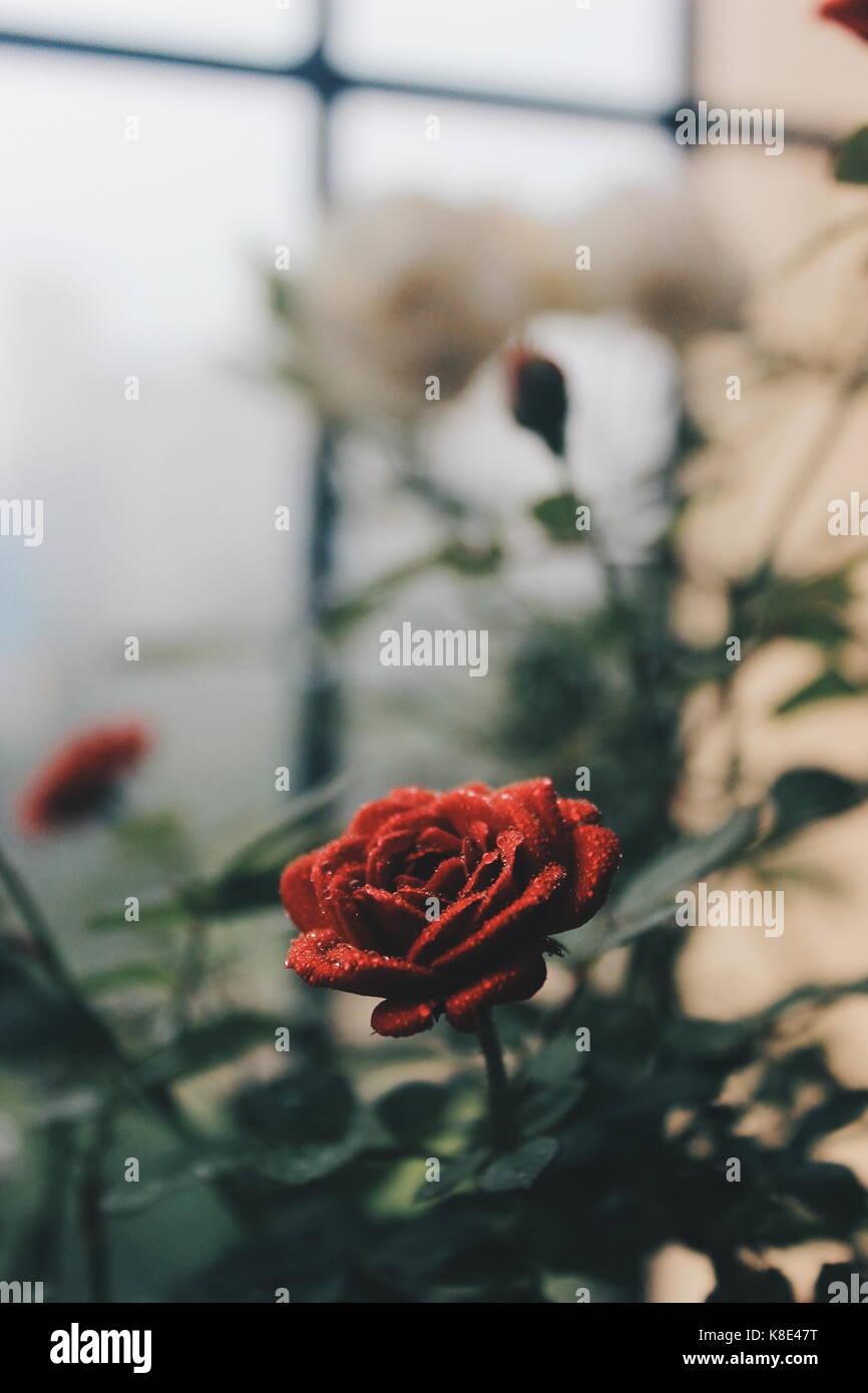 Gouttes de pluie sur les roses. Banque D'Images