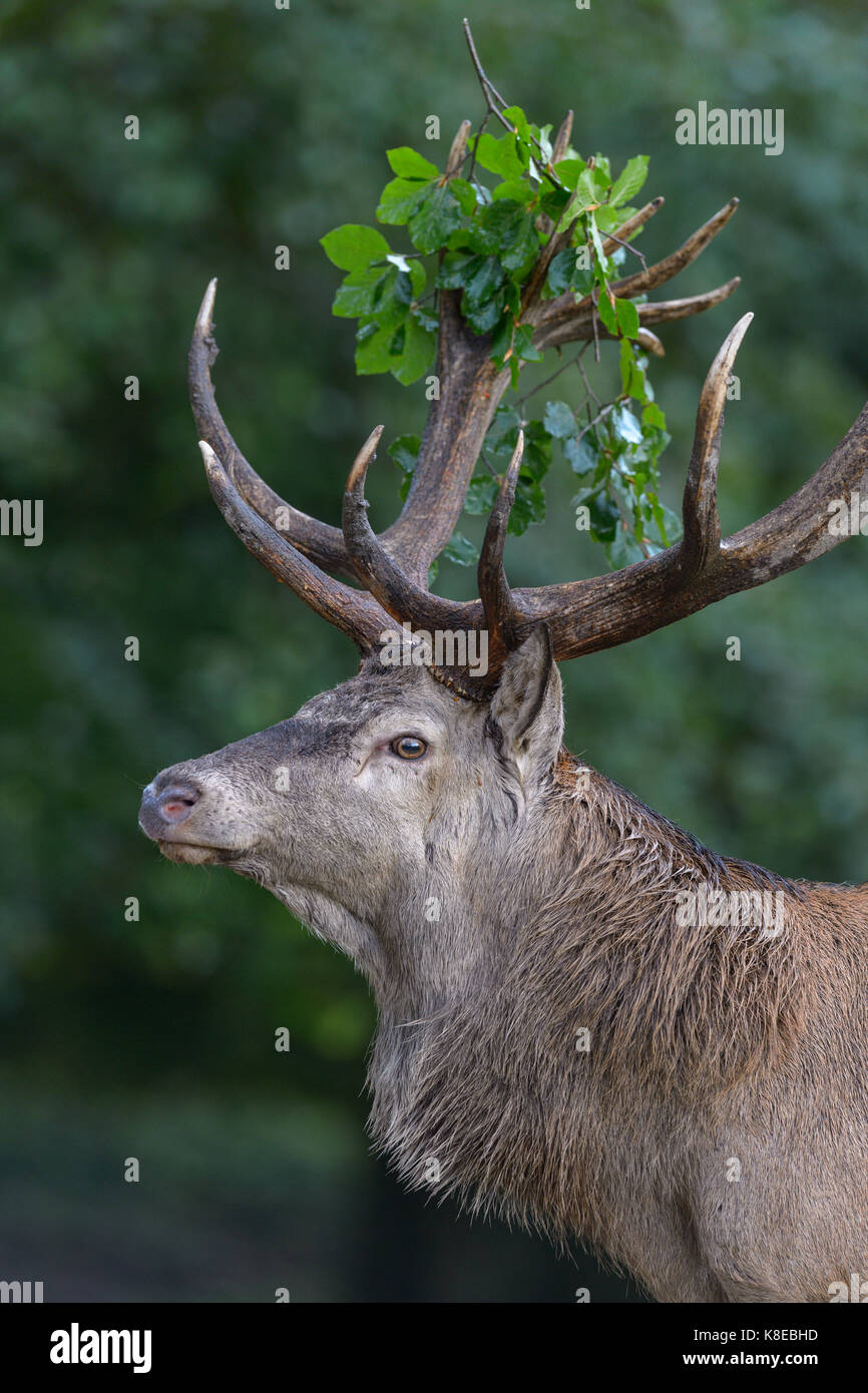 Red Deer (Cervus elaphus), portrait, avec la direction générale de capital deer feuille en andouiller, Photo Stock