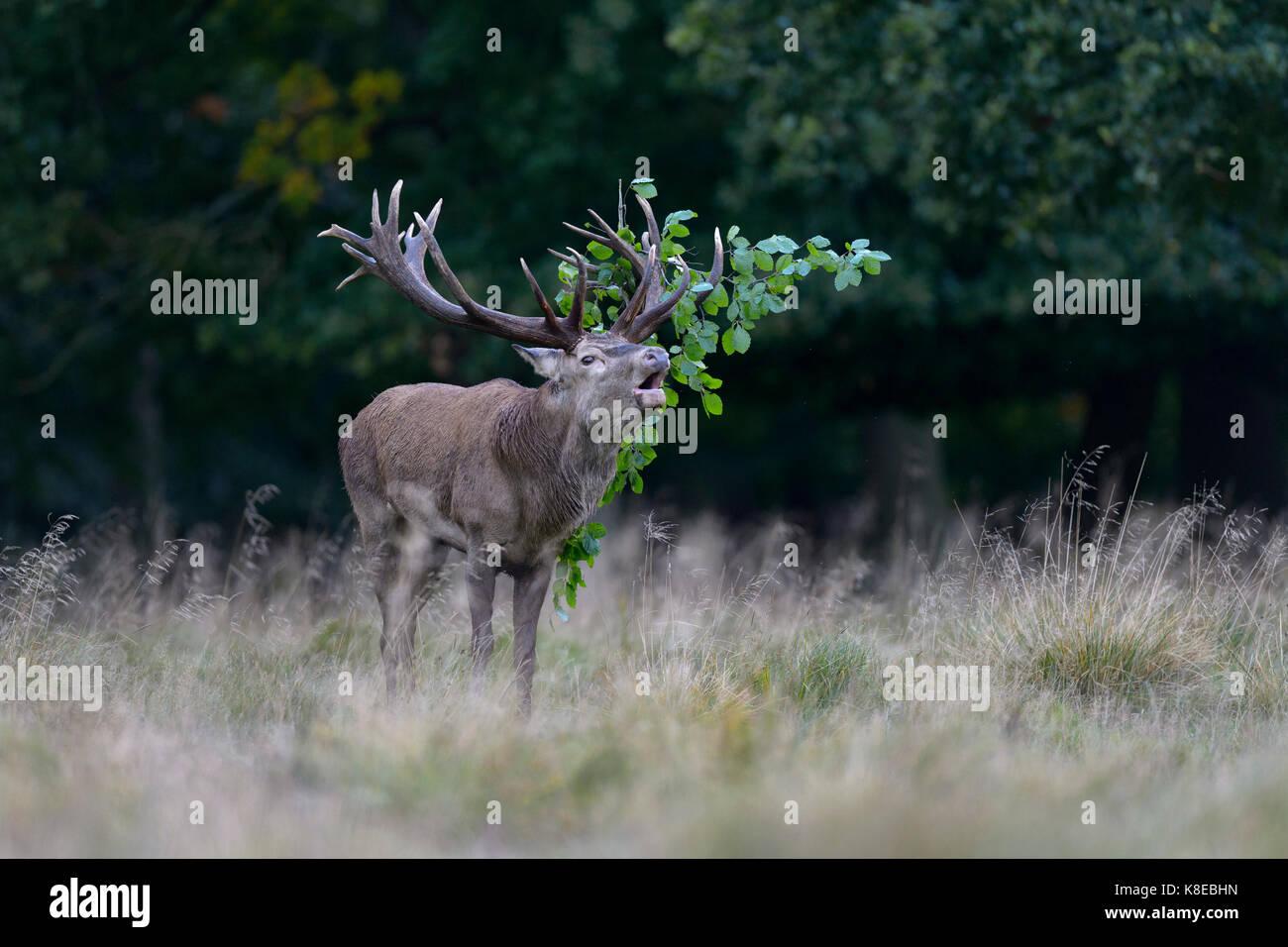Red Deer (Cervus elaphus), rugissant, stag capital avec le feuillage dans les bois, les imponierge, platzhirsch, Photo Stock