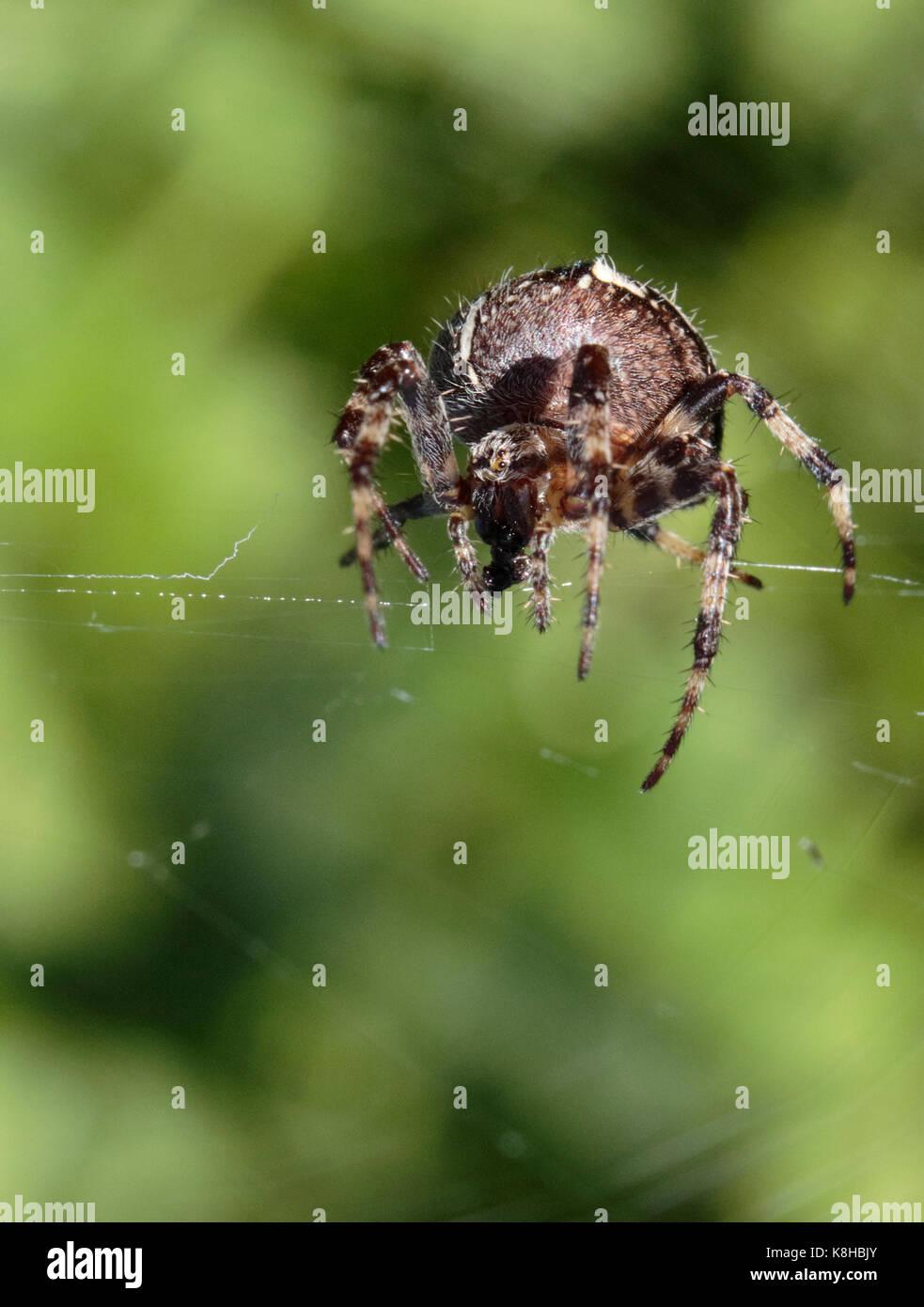 araignée de jardin Banque D'Images