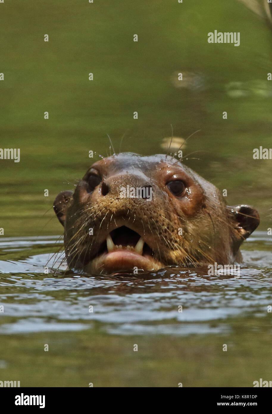 La loutre géante (pteronura brasiliensis) close up of adulte tête dans river inirida, Colombie novembre Banque D'Images