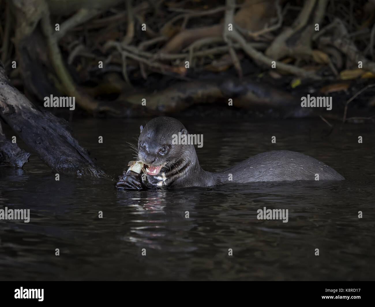 La loutre géante (pteronura brasiliensis), les jeunes la consommation de poissons capturés, Mato Grosso, Brésil, juin Banque D'Images