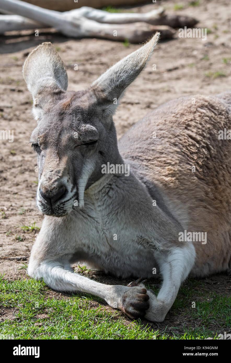 Close up of red kangourou (Macropus rufus) femelle se reposer, originaire de l'Australie Photo Stock