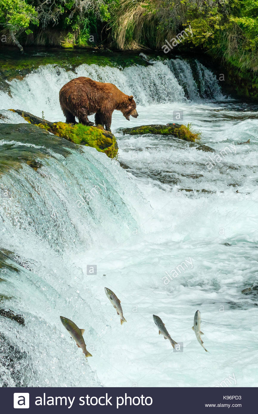 Ours brun, Ursus arctos, pêche pour le saumon à Brooks Falls. Photo Stock