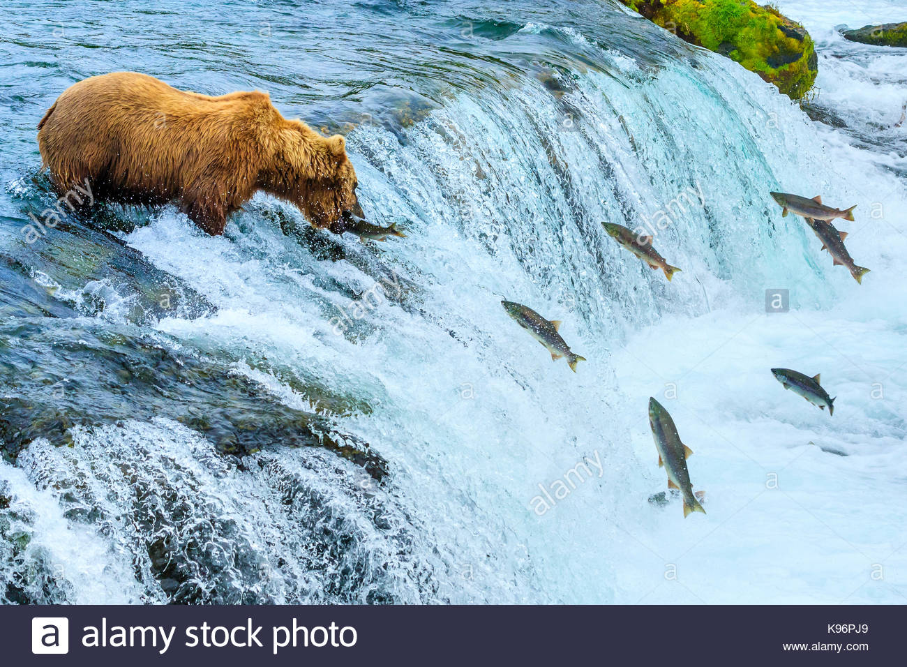 Ours brun, Ursus arctos, pêche pour le saumon à Brooks Falls. Photo Stock