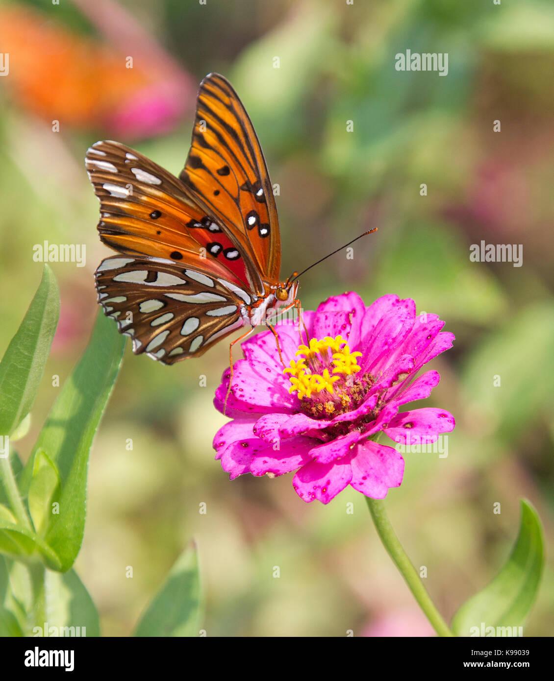 Gulf fritillary butterfly Photo Stock