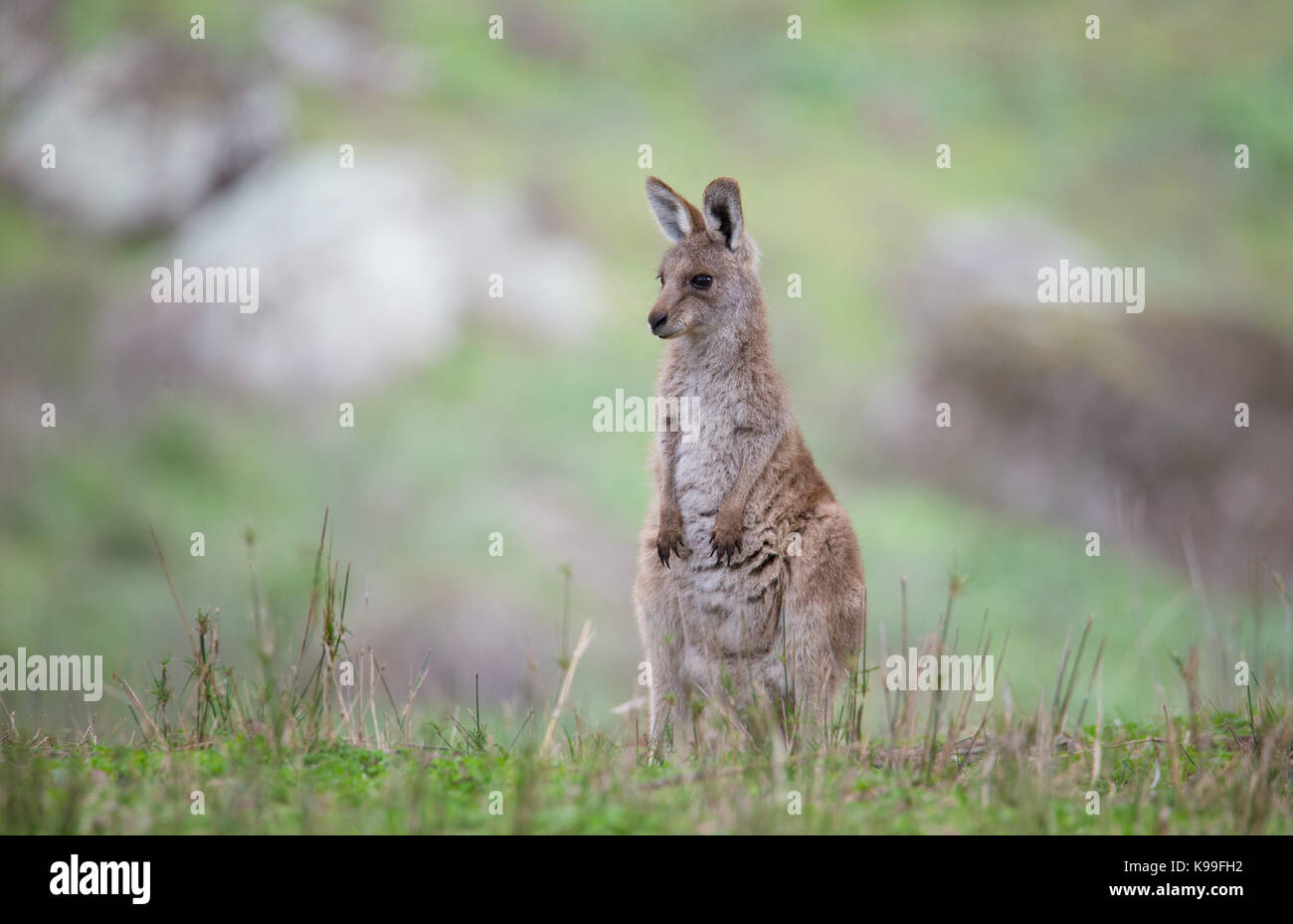 Le kangourou gris (Macropus giganteus) joey, NSW, Australie Photo Stock