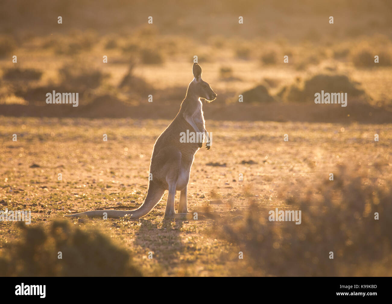 Kangourou rouge (Macropus rufus), Parc National de Sturt, outback NSW, Australie Photo Stock